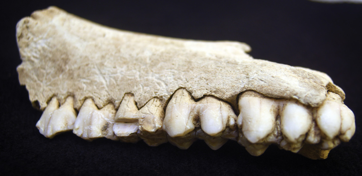 above Samples taken from the teeth of pigs (pictured) and cattle allowed the project team to examine chemical signatures isotopes that helped narrow down where the animals had been brought from. This analysis hinted at strikingly far-flung origins for some, based on current mapping data.