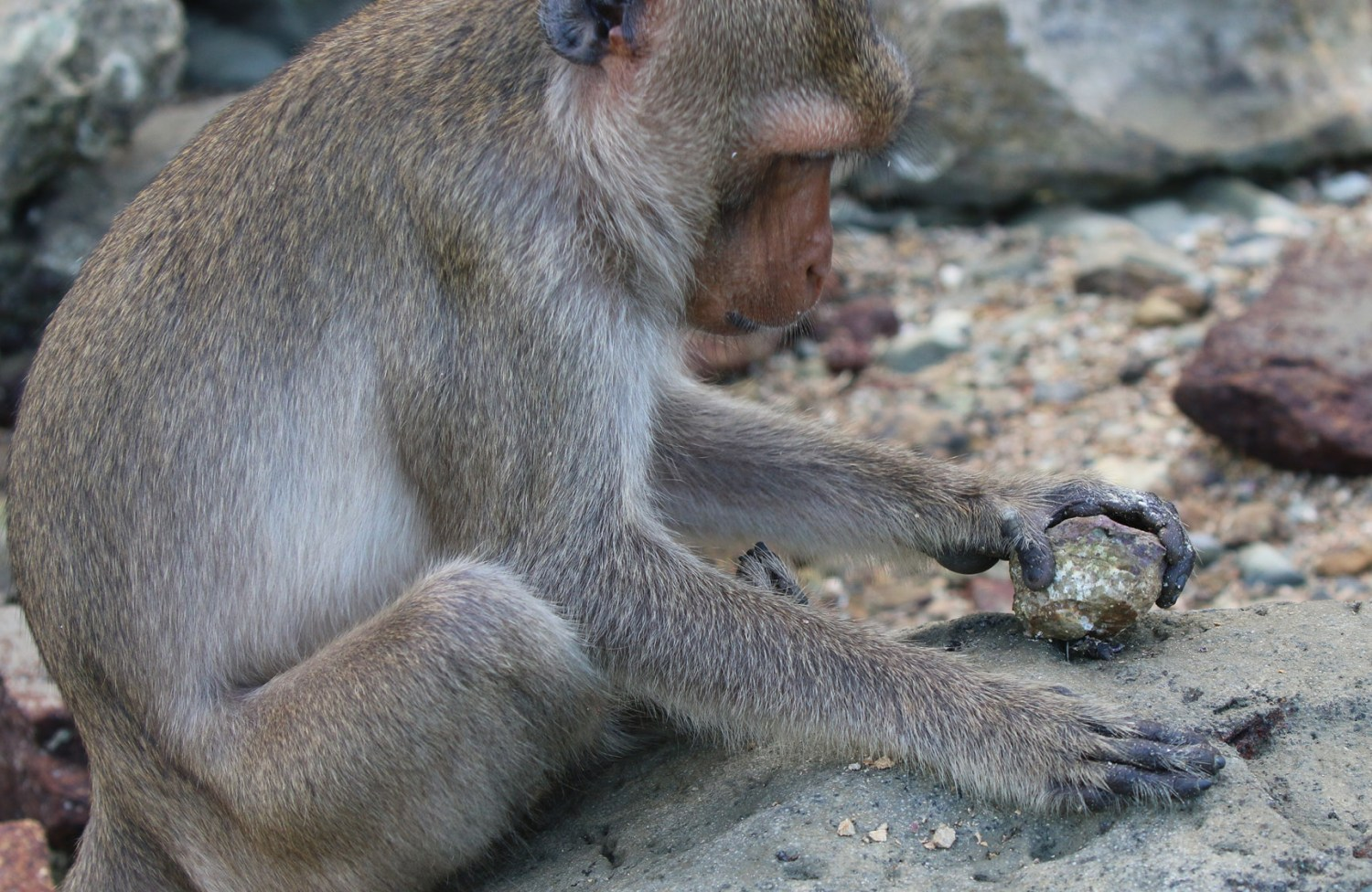 left Macaques carefully select stones suited to the task at hand. Here we see a macaque cracking open a sea snail (left) and oyster (Below left). bottom Australopithecus sediba has provided near-complete sets of hand bones. This anatomy was well-suited to climbing, but could also perform precision grips of the sort needed when using tools.