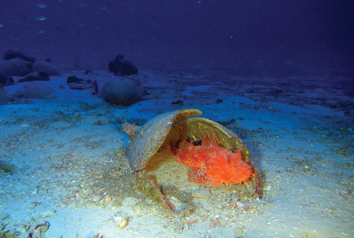 below The upper layer of cargo is exposed on the seabed. This mostly contains storage vessels, including this western Phoenician amphora that now provides a bijou residence for a rockfish.