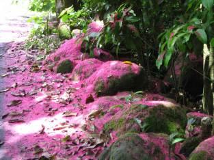 Fallen flower petals, Waipio Valley