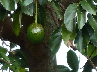 leica-avocado-100-percent-crop