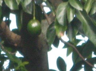 old-avocado-100-percent-crop