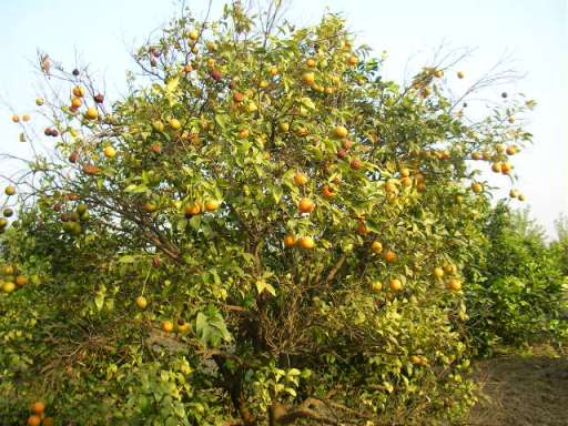 Keenu trees, Punjab, fruit farm, countryside, offbeat travel