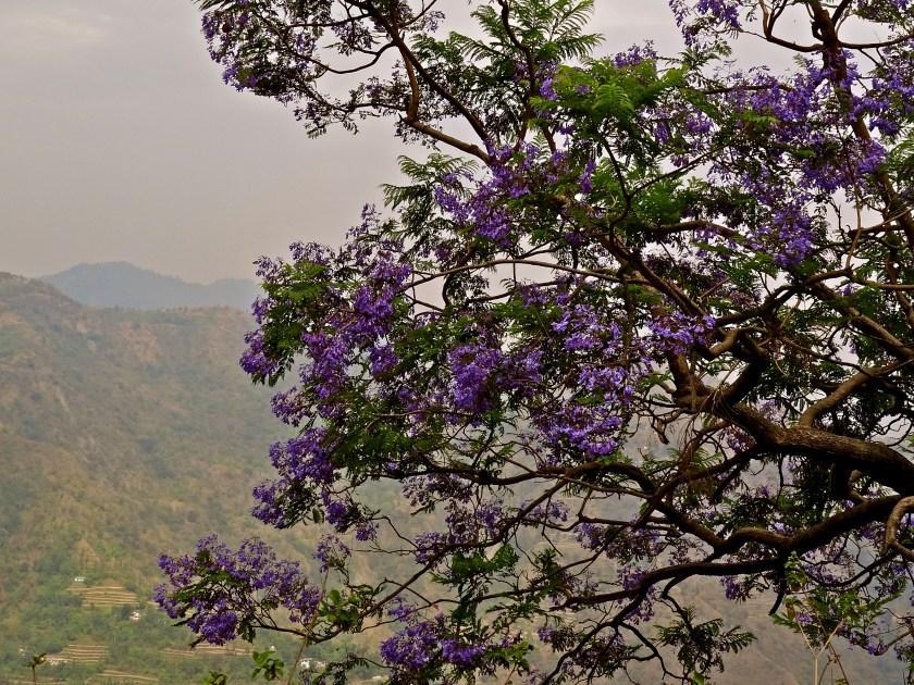 Uttarakhand trees, Uttarakhand flowers, Himalayas flowers, jacaranda tree