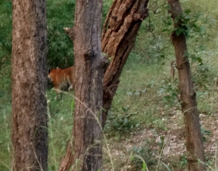 tigers madhya pradesh, kanha tigers, tiger conservation india