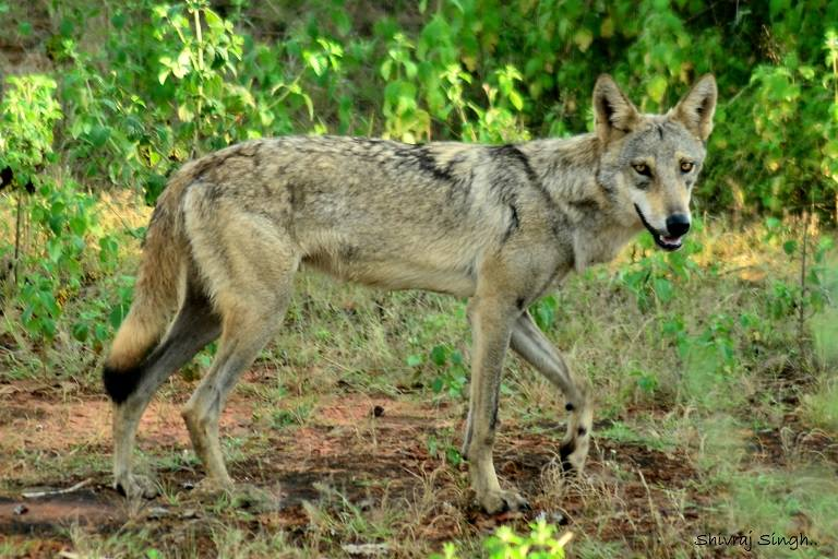 wolf india, wildlife tourism India, Pugdundee Safaris