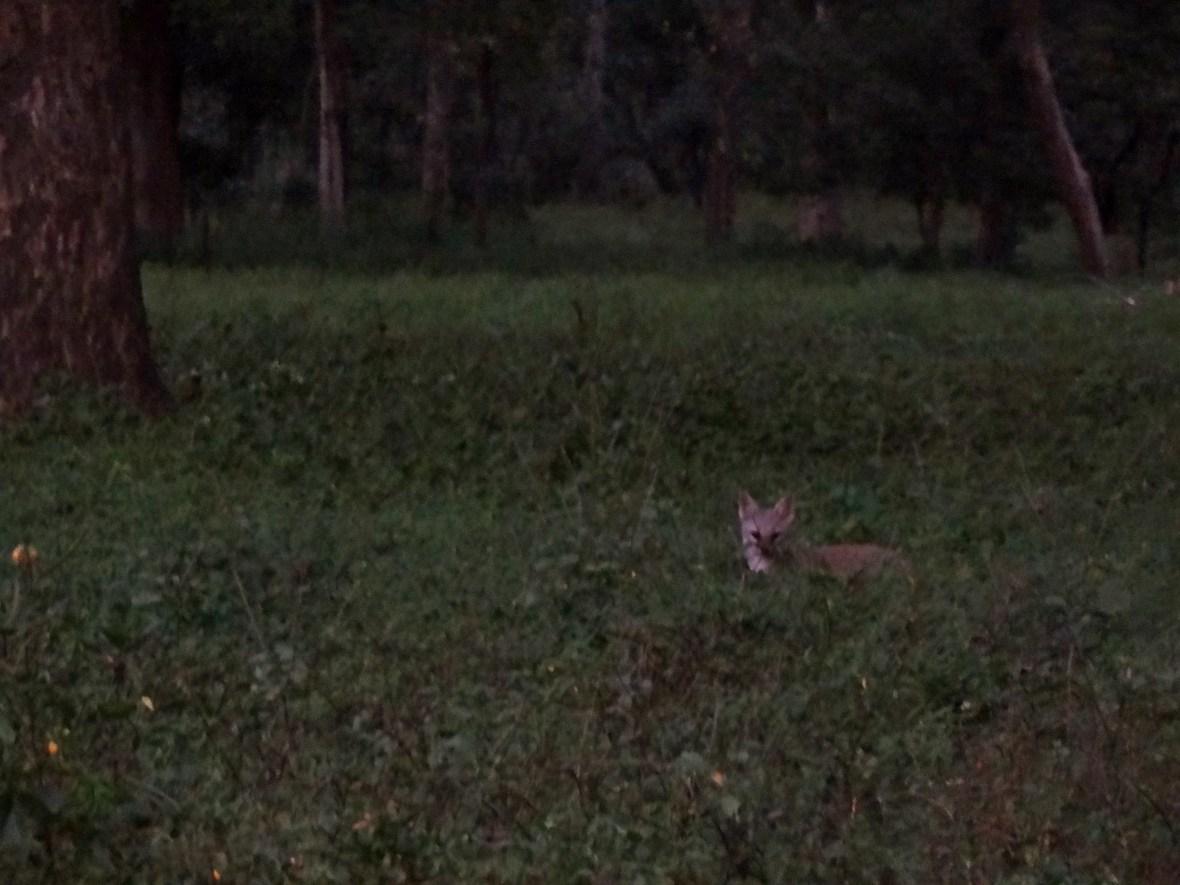 Jungle cat, Kanha wildlife, Kanha national park