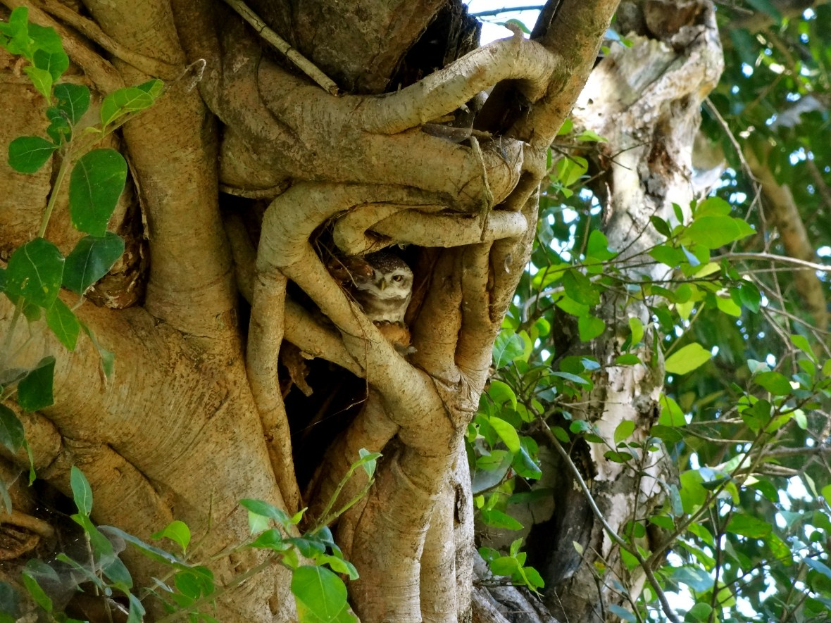 spotted owlet, Kanha wildlife, Kanha national park