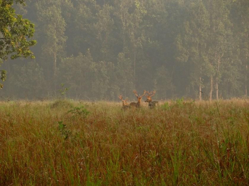 barasinghas, Kanha wildlife, Kanha national park, Kanha madhya pradesh, kanha tiger reserve