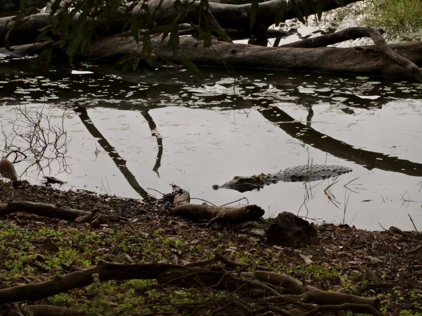 indian mugger crocodile