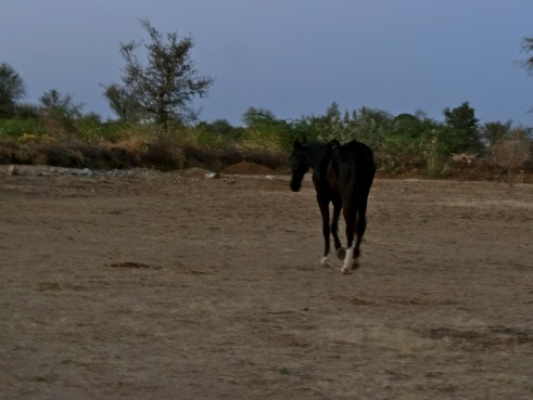 Rajasthan Marwari horses, Rajasthan villages, Rajasthan things to do