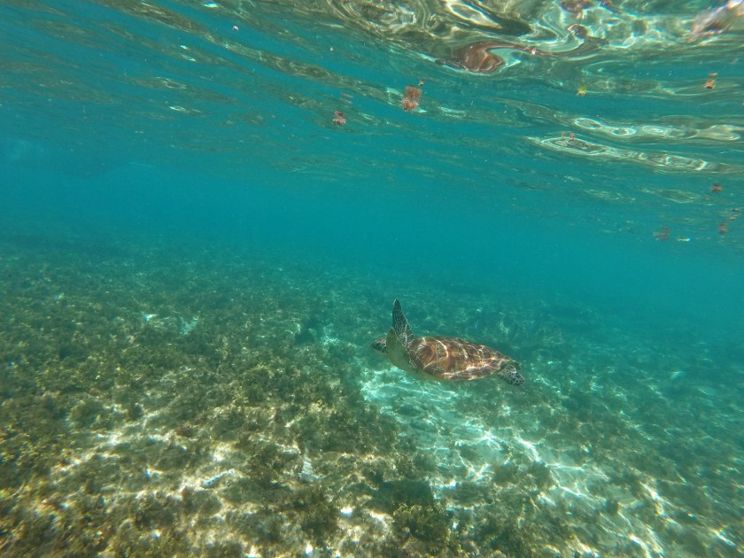 sea turtle philippines, negros island, apo island,
