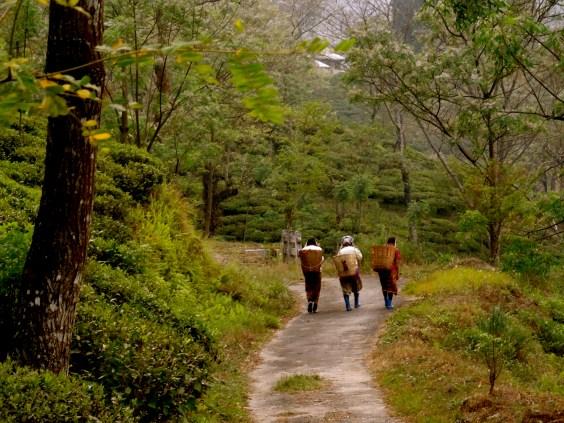 Darjeeling tea estates, Darjeeling photos