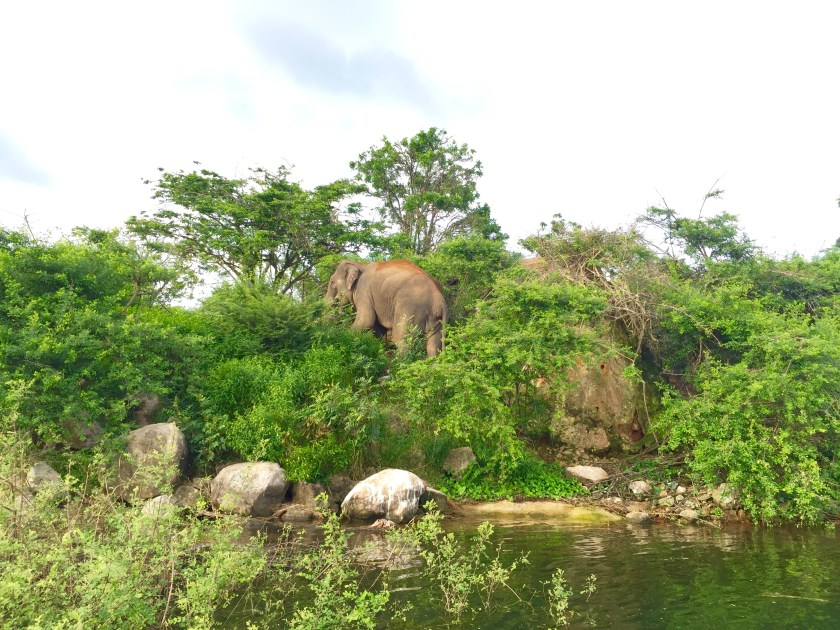 gal oya national park, swimming elephants, elephants sri lanka