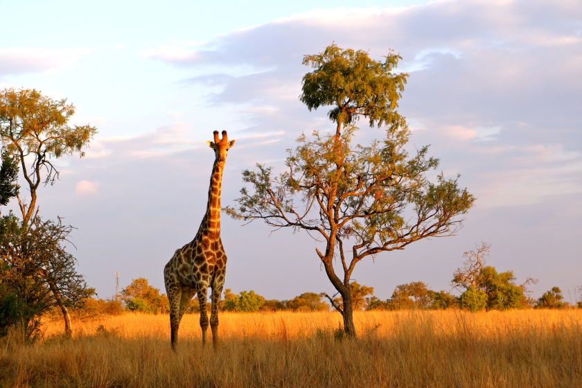 South Africa photos, visa list for indians, giraffes south africa