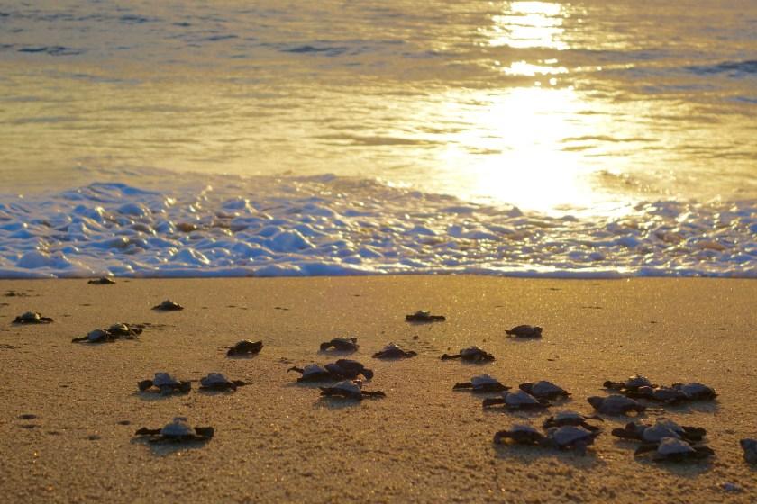 turtle release mexico, turtle conservation mexico, todos santos