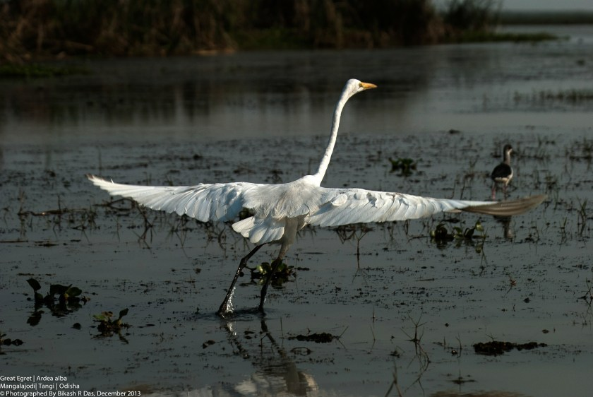 Mangalajodi bird conservation, wildlife conservation efforts in India, responsible travel blogs