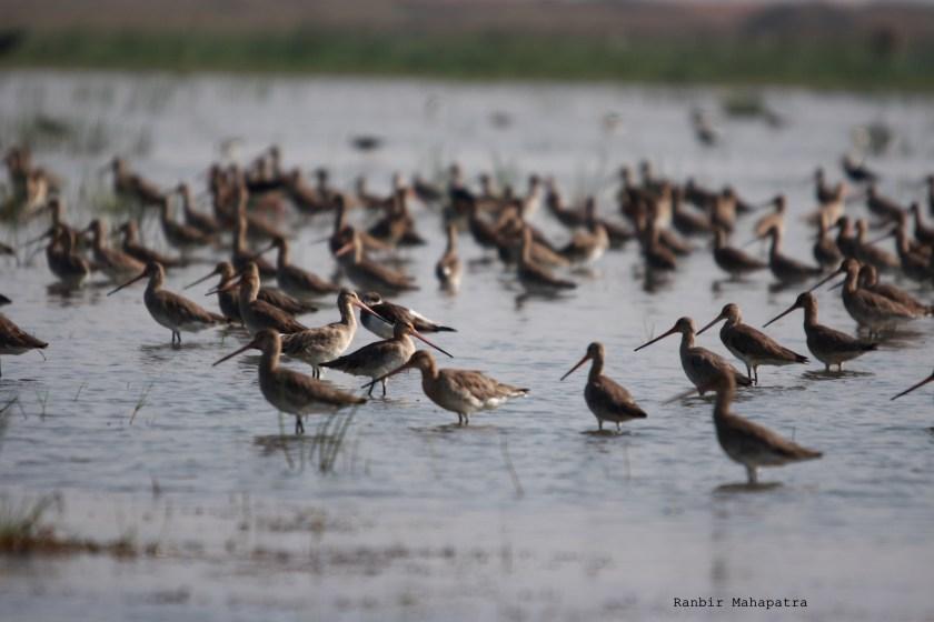 Black winged godwits, Mangalajodi blog, bird sanctuary Orissa, wildlife conservation in India