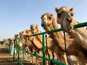 camel beauty pageant - miss camel