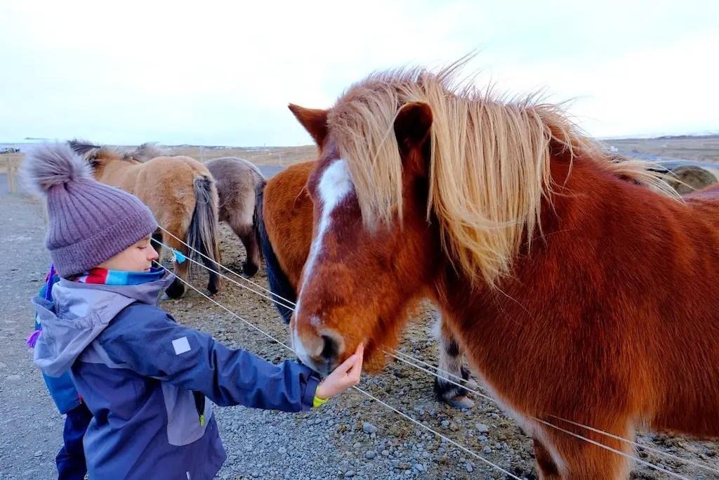 Dziewczynka karmi islandzkie konie