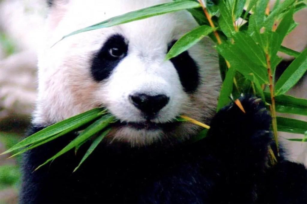 See Panda in Chiang Mai Zoo