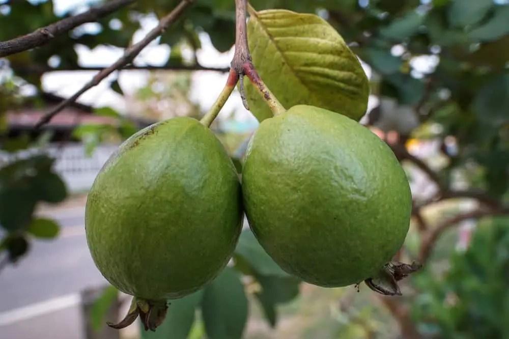 Guava -  southasian fruit i never tried