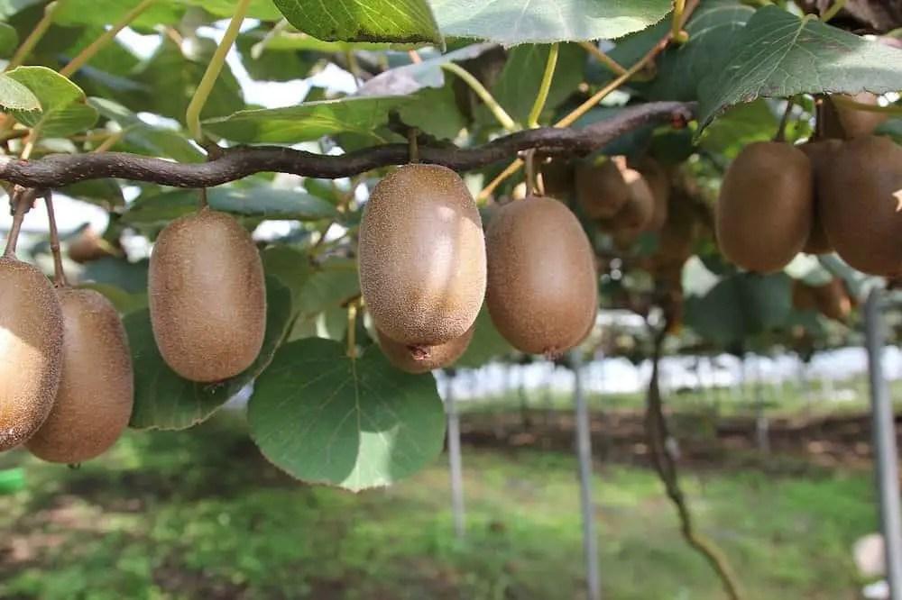 kiwi fruit native to china