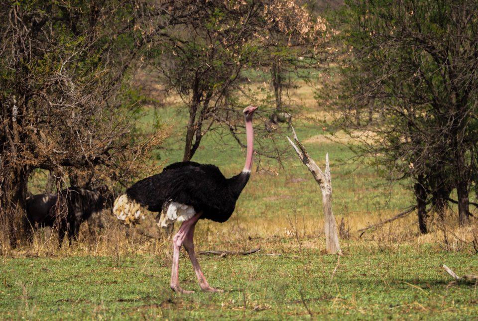 Tansania-Serengeti-Safari-strauß