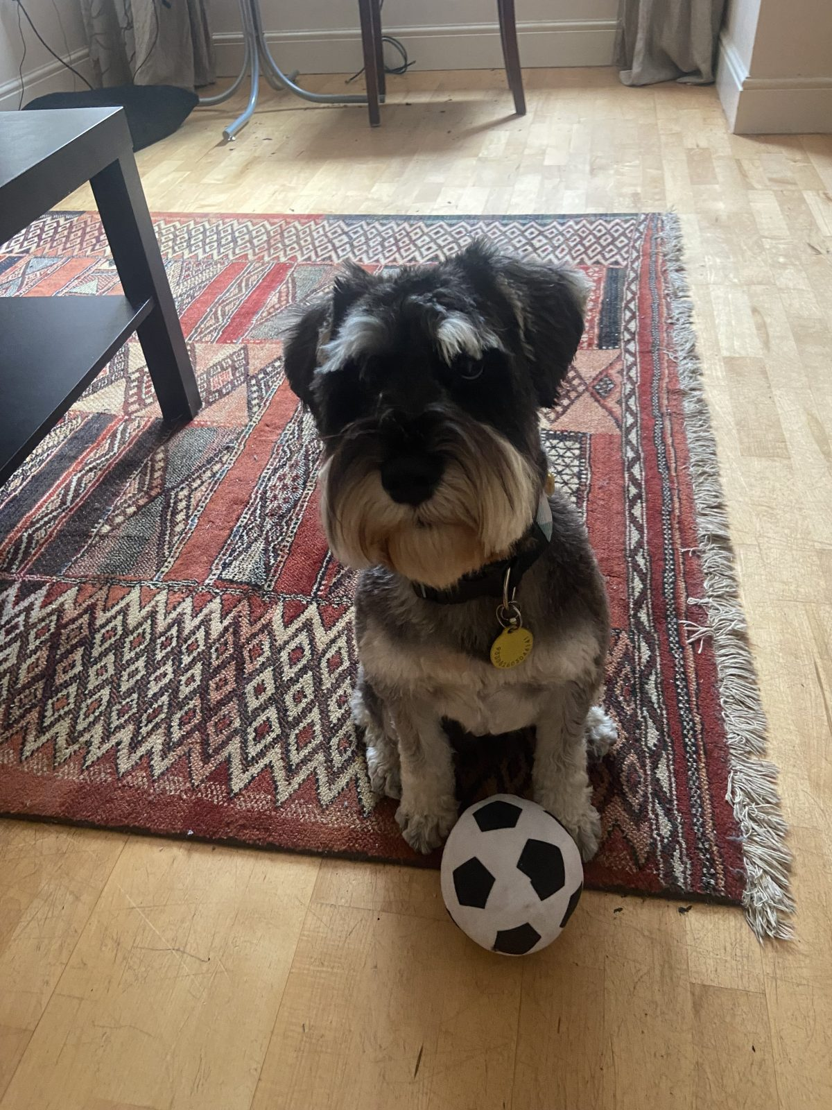 Fantasy football - Miniature schnauzer sitting on rug, with toy football between his paws.