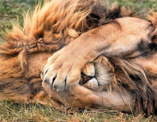 You Now Can Camp With Lions For £45 A Night At Yorkshire Wildlife Park