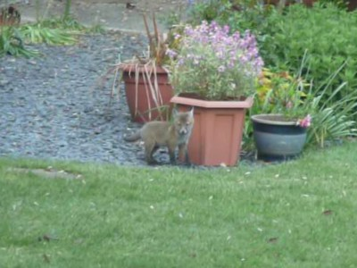 Small fox cub by plant pot