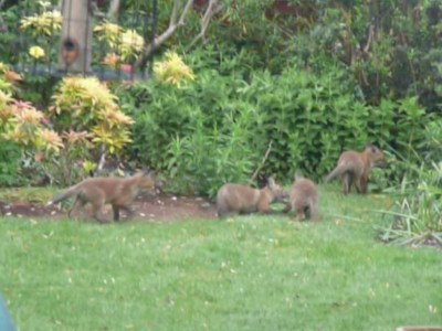 Four fox cubs playing chase in the garden