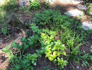 pachysandra and lily turf