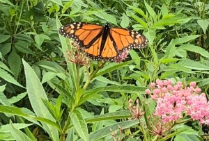 Monarch fully open wings with milkweed flower