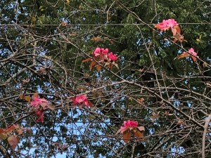 bare crabapple tree with sudden fall blooms