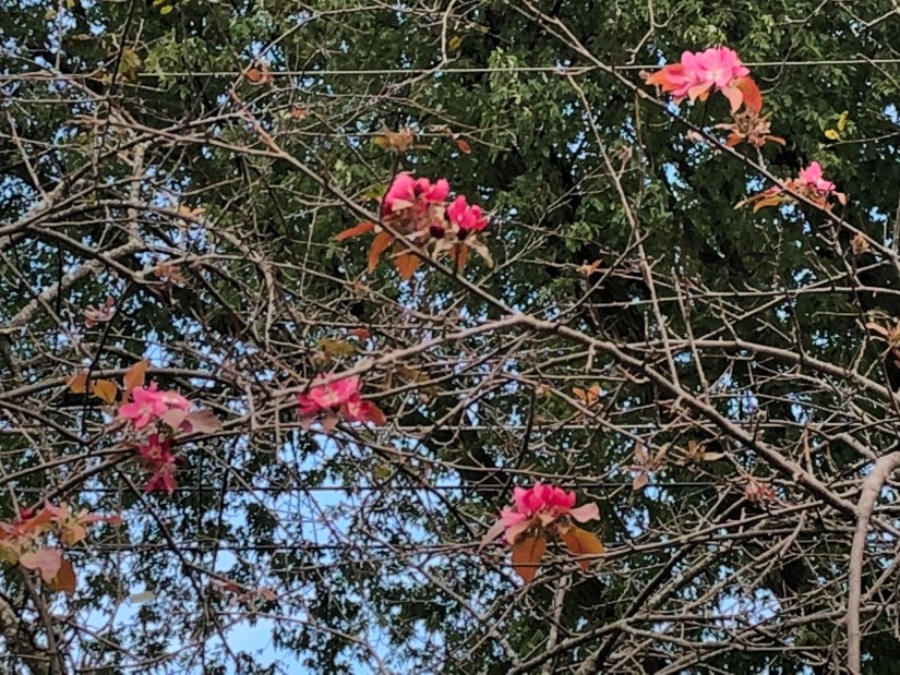 bare crabapple tree with surprising Fall blossoms