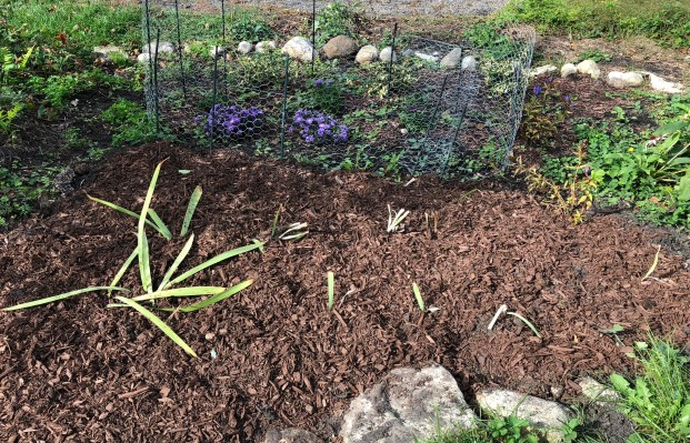 Fall transplanted bed of irises