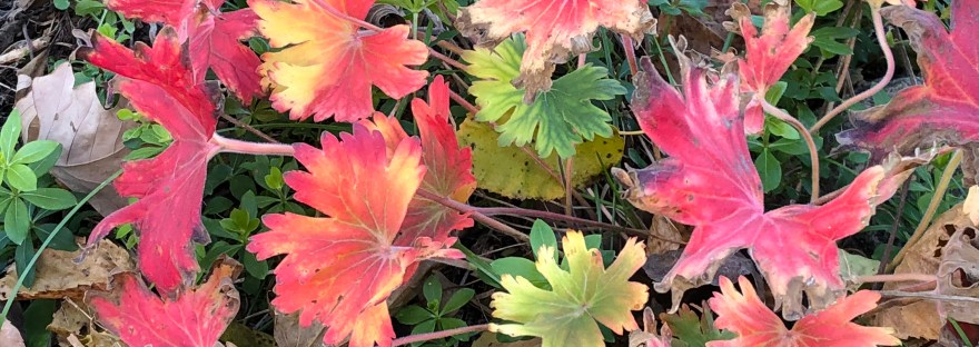 Cranesbill Fall color in backyard garden