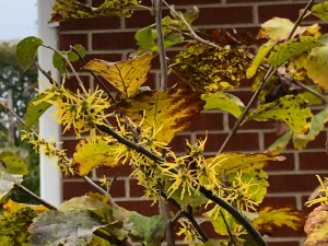 yellow blossoms of October blooming witch hazel