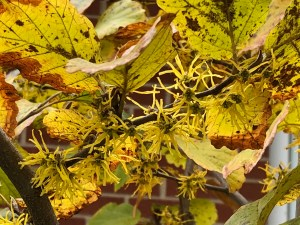 yellow broom-like flowers of witch hazel