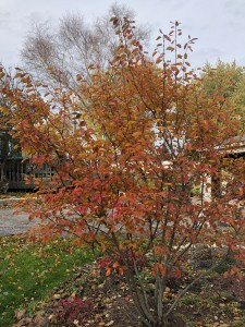 fall orange and red colors on serviceberry