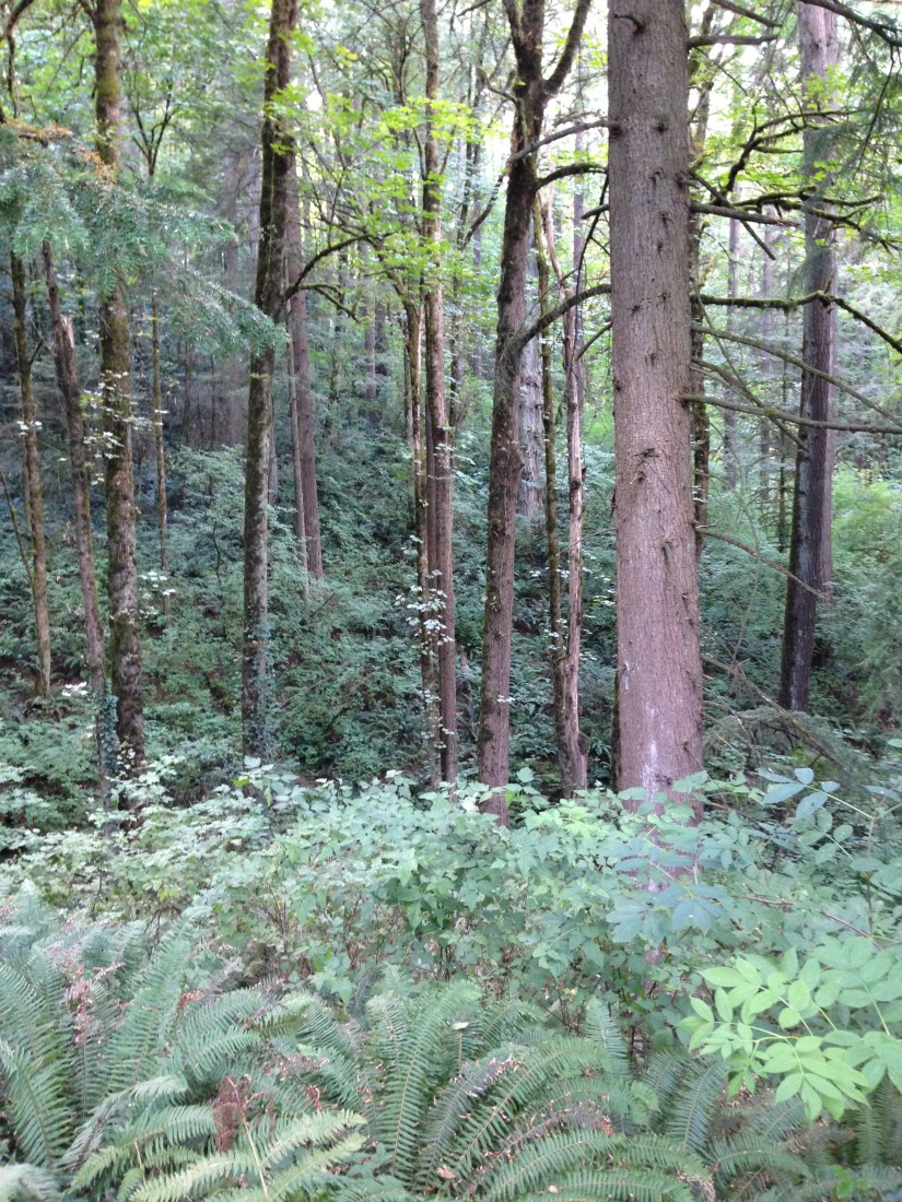 fern undergrowth filling in under tall pines