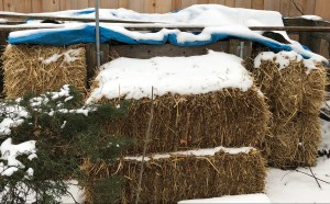 Straw bales surround a compost pile, covered in snow