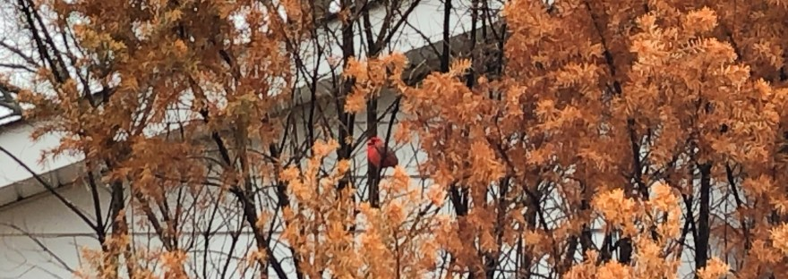 Tall, brown dead yew bush; male cardinal sits in bare spot in middle of bush