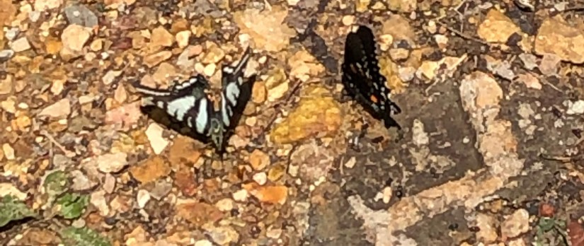 Blue and black butterfly, wings partially open, sitting on brown bed of rocks
