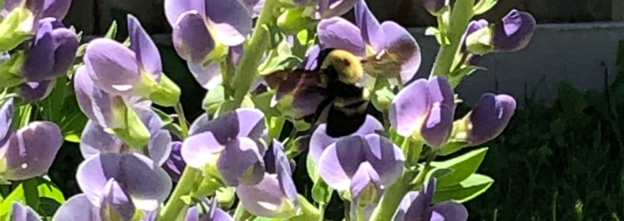 Bumblebee with wings spread, hovering over a violet false indigo in full bloom