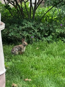 brown bunny in grass against background of geraniums