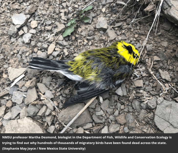 yellow, black, and white warbler dead and laying on gravel