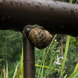 brown-spotted snail clinging to a wet bronze-toned metal fence, with wildflowers in background