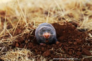 gray furry mole sitting atop deep brown dirt, with yellow, dried grass in background